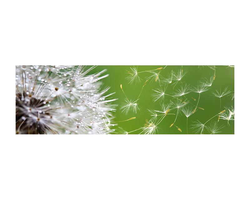 Kuchenruckwand Glas Lowenzahn Dimex Line De